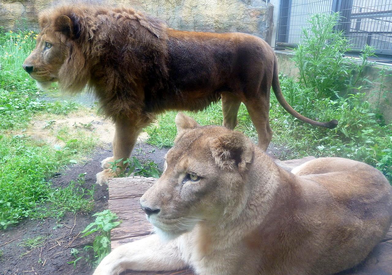 北海道の旭山動物園の観光旅行 ライオン