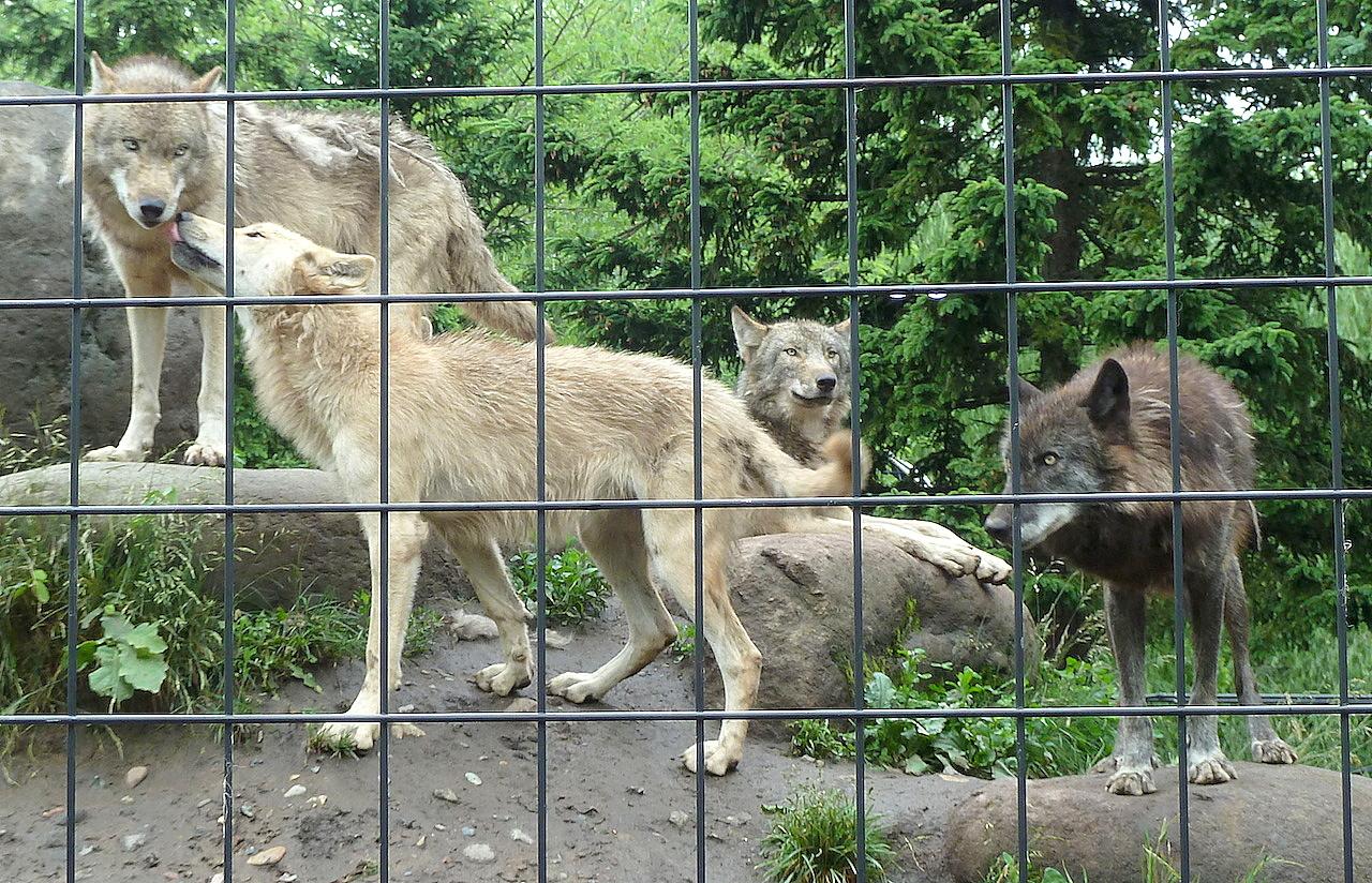 北海道の旭山動物園の観光旅行 シンリンオオカミ