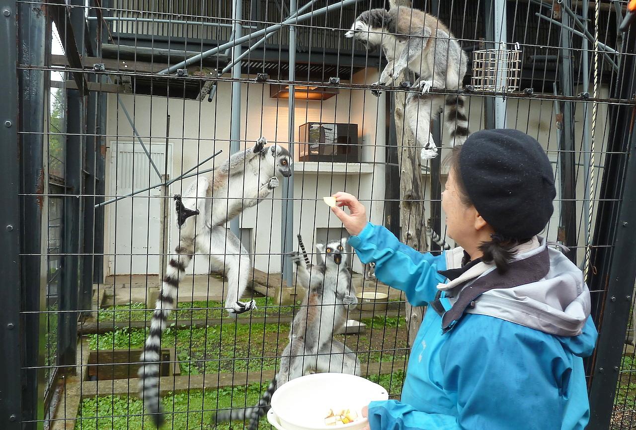 北海道の旭山動物園の観光旅行 ワオキツネザル