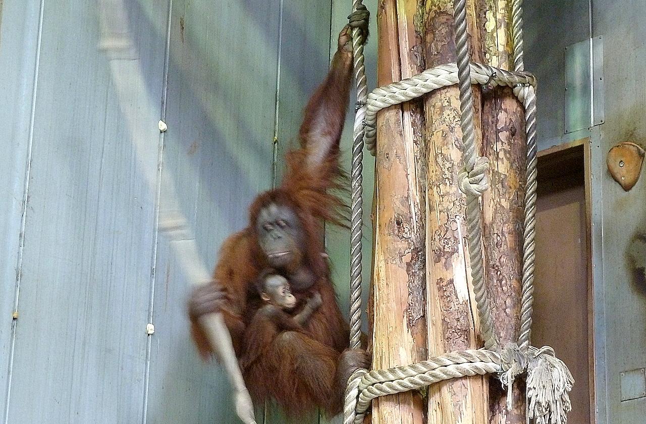 北海道の旭山動物園の観光旅行 オランウータン