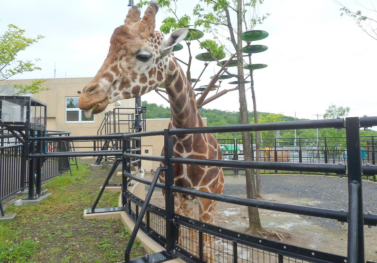 北海道の旭山動物園の観光旅行 キリン