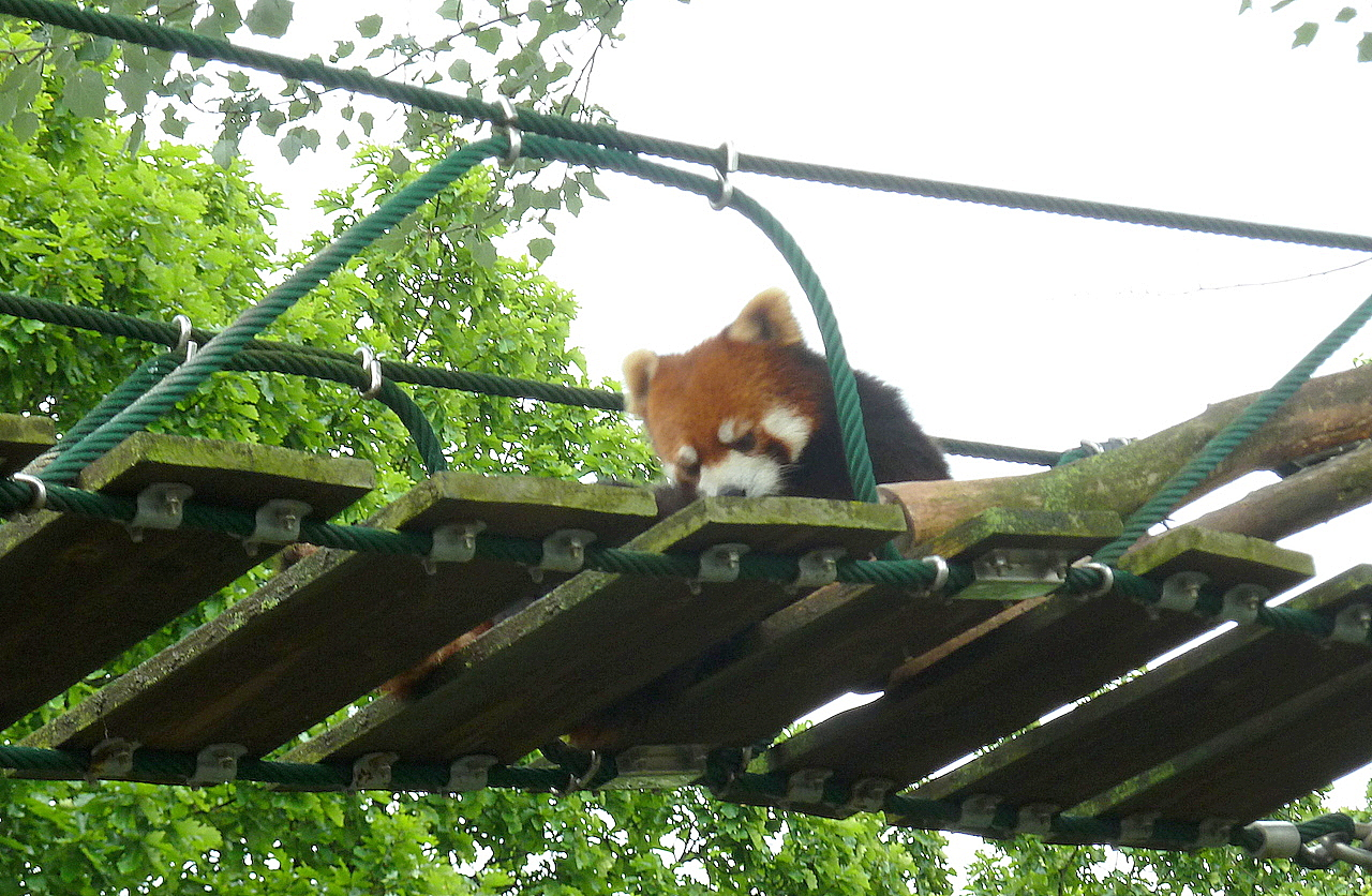 北海道の旭山動物園の観光旅行 レッサーパンダ
