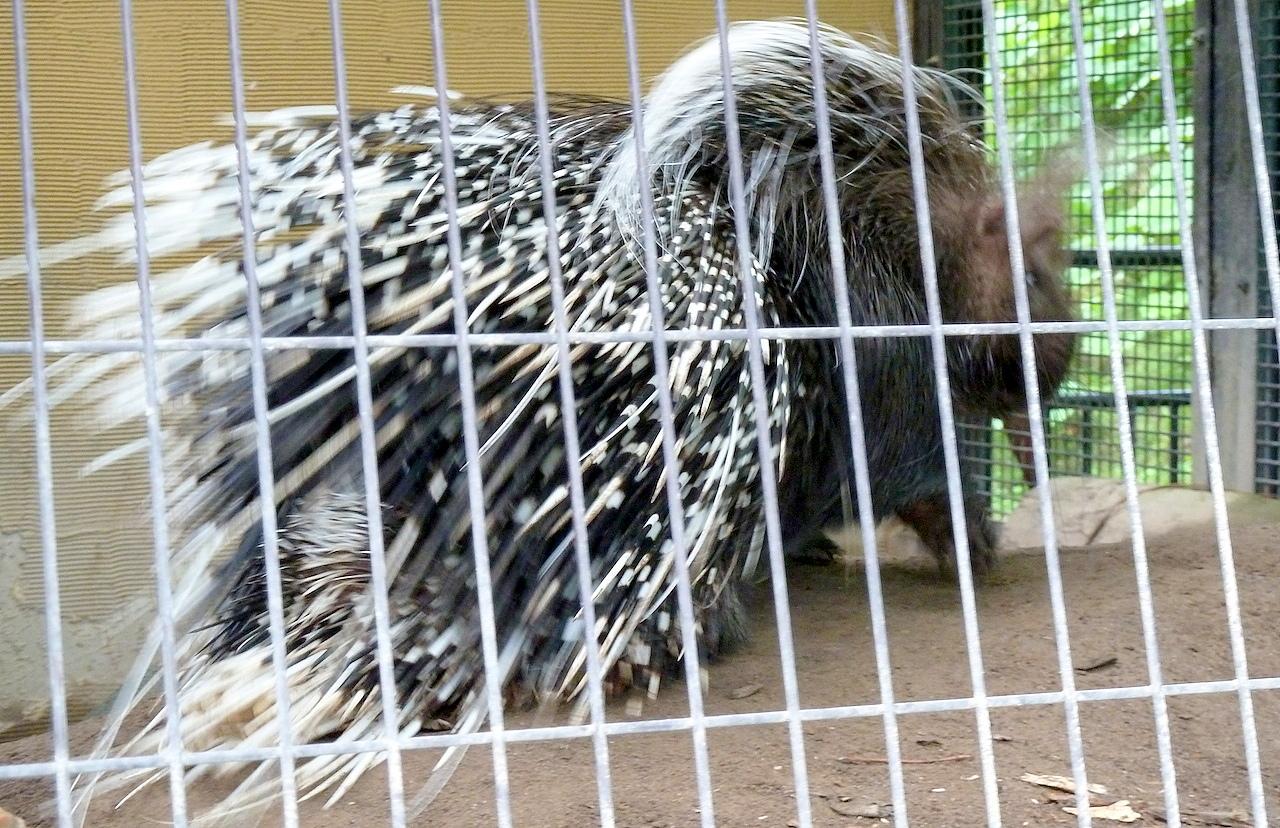 北海道の旭山動物園の観光旅行 ヤマアラシ