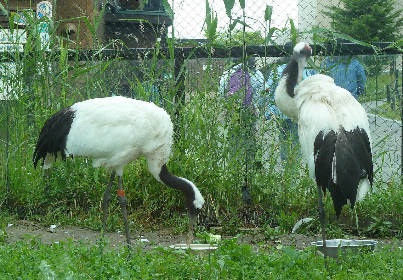 北海道の旭山動物園の観光旅行 タンチョウヅル