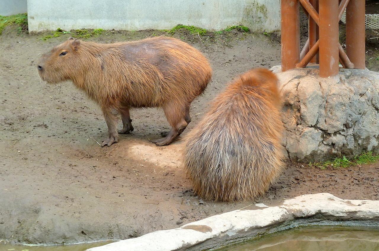 北海道の旭山動物園の観光旅行 カピバラ