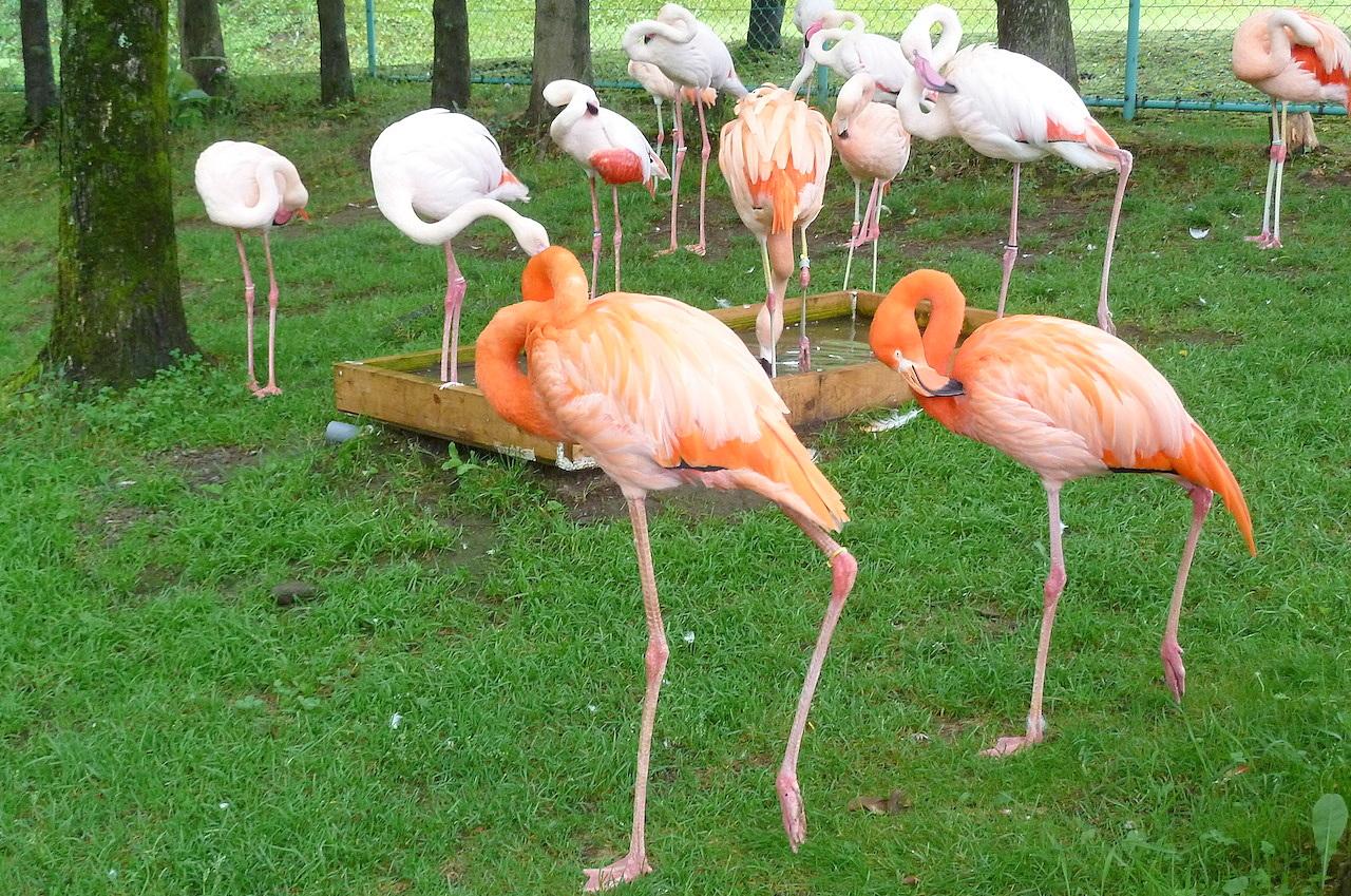 北海道の旭山動物園の観光旅行 フラミンゴ