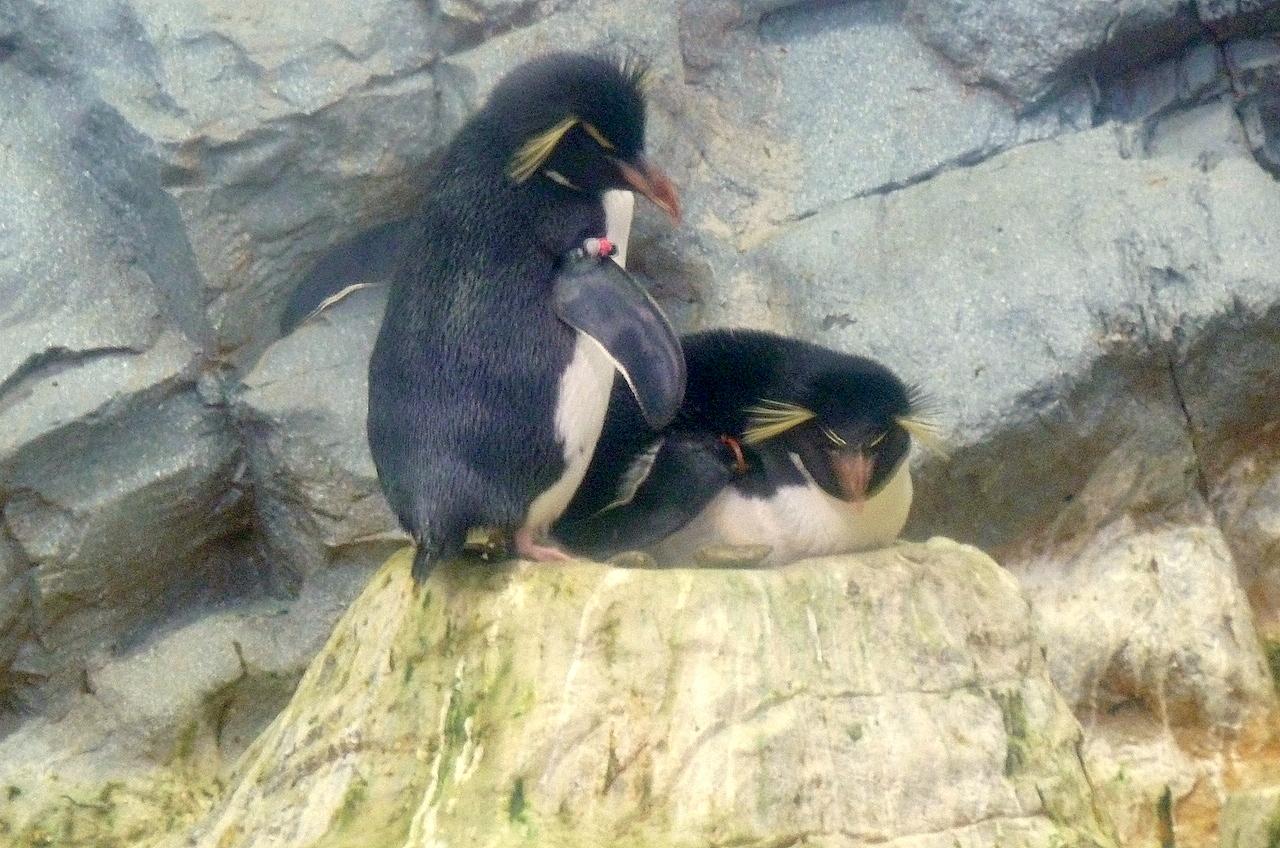 北海道の旭山動物園の観光旅行 ペンギン