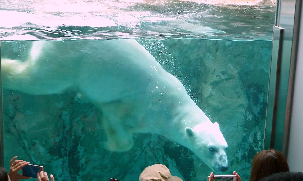 北海道の旭山動物園の観光旅行 ホッキョクグマ/しろくま