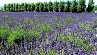 【北海道旅行】富良野のラベンダー園を観光!7月初めのファーム富田と北星山町営
