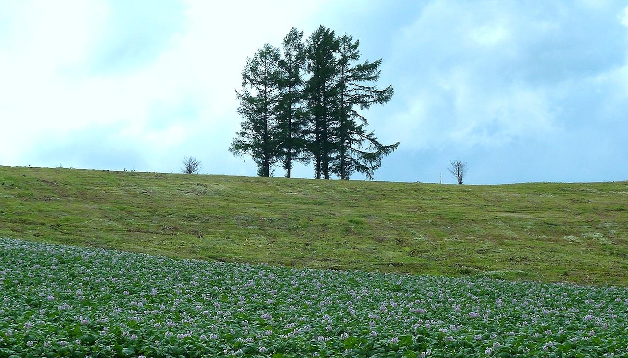 北海道の美瑛の観光旅行 美馬牛の嵐の木・5本の木