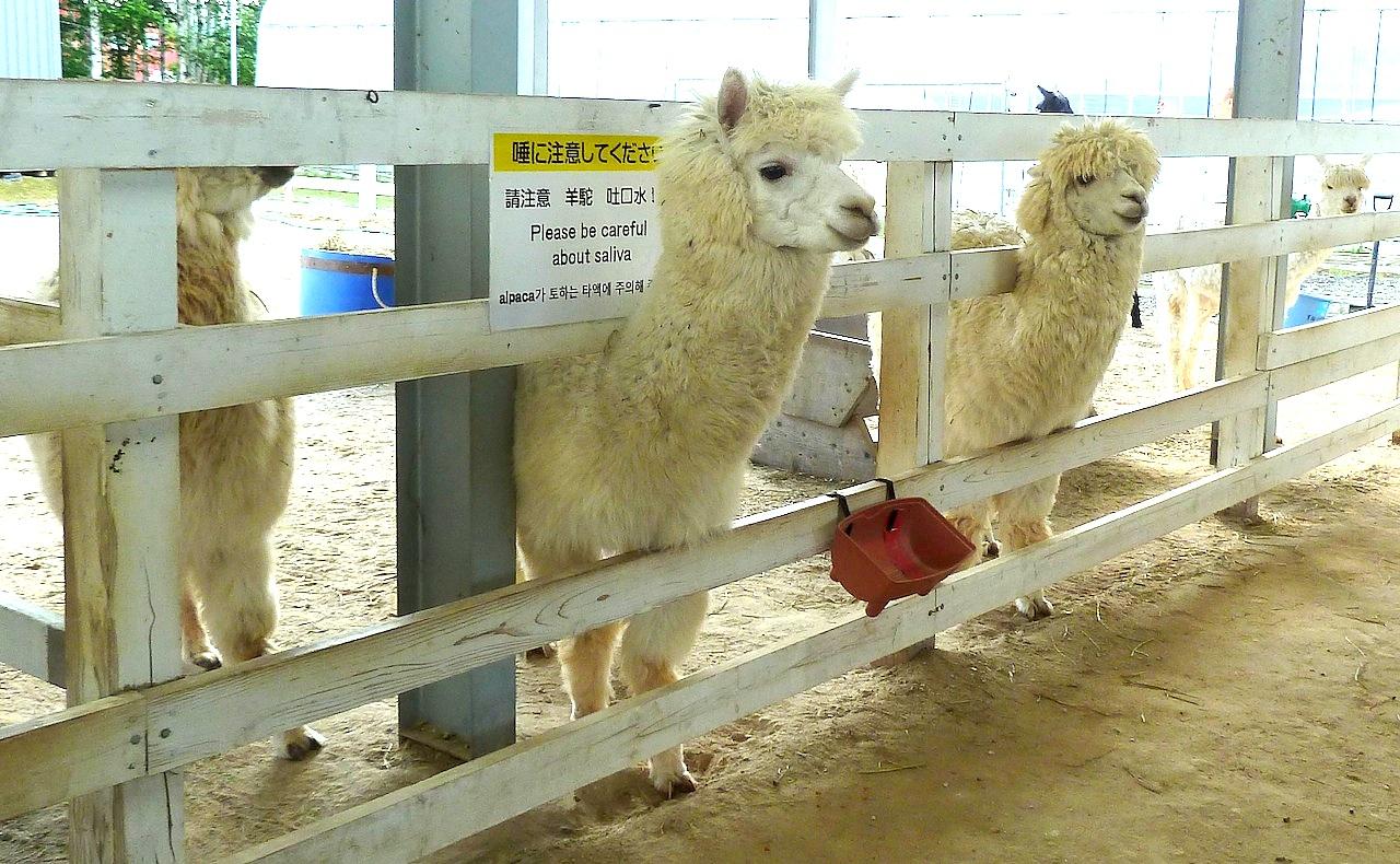 北海道の美瑛の観光旅行 美馬牛の四季彩の丘のアルパカ牧場