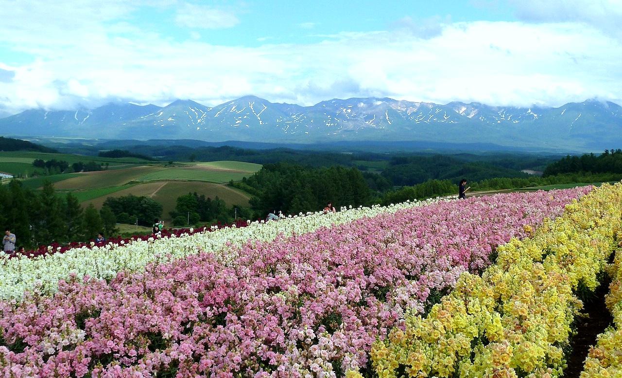 北海道の美瑛の観光旅行 美馬牛の四季彩の丘の花畑と十勝岳連峰