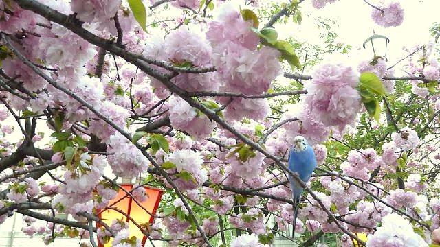 大阪で一番有名な桜を見てきたよ!造幣局の通り抜け